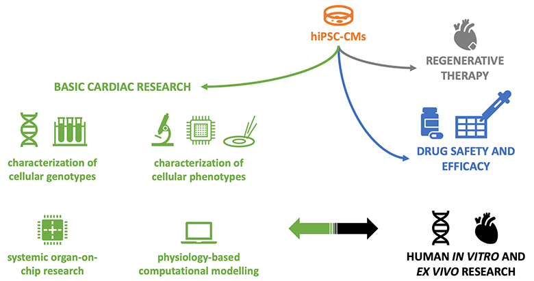 Scope of the review. Although arrhythmogenic properties of hiPSC-CMs are very relevant in all 3 principal application fields (basic research, drug screening, and regenerative therapy), we focus on the first one and on the second one to a lesser extent. Also, we link the hiPSC-based findings to the human/patient context whenever possible.